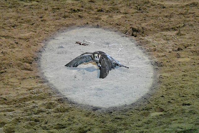 Falcon Medieval Times Dallas