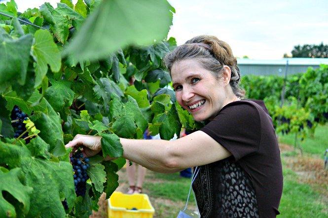harvesting-grapes
