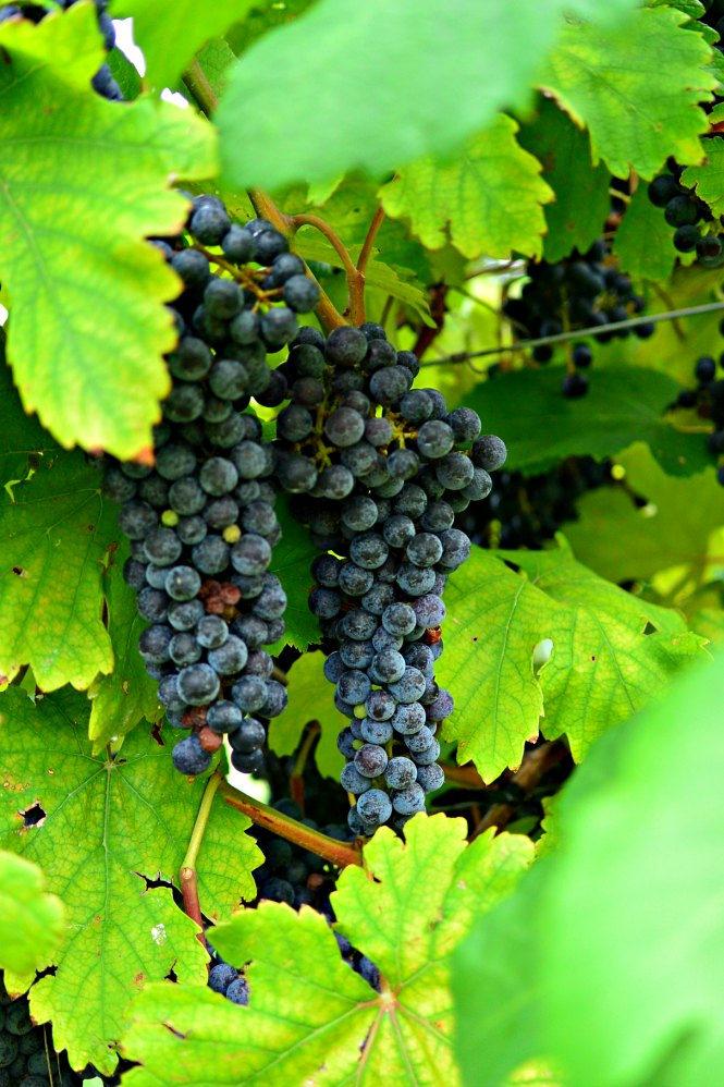 grapes-messina-hof-harvest