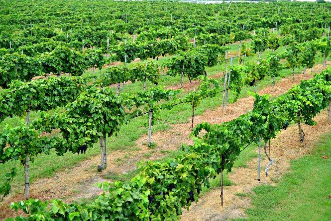 messina-hof-vineyard